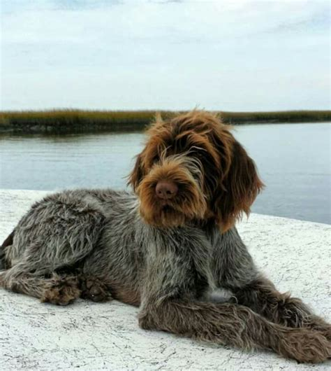 german wirehaired pointer classic look dogs