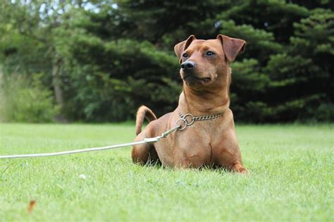 Do Miniature Pinschers Shed by List Of All Types Of Small Breeds