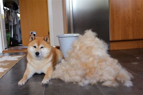 Do Pomskies Shed Fur by 17 Best Images About Shiba Inu On Show