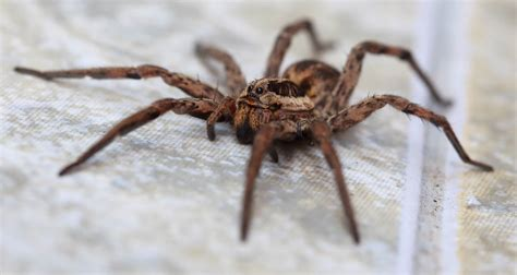 100 tarantula shedding its exoskeleton spider things biological page 5 how to tell if