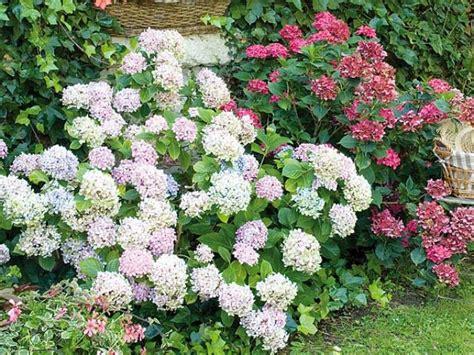 la plantation de l hortensia