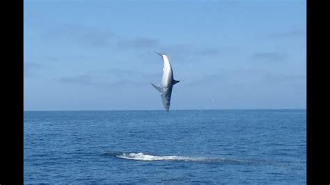 Mako Boats Mark Vi by Jumping Mako Flying Mako Shark Tournament 2012 Uncut