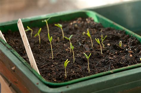 growing chili peppers from seed corner
