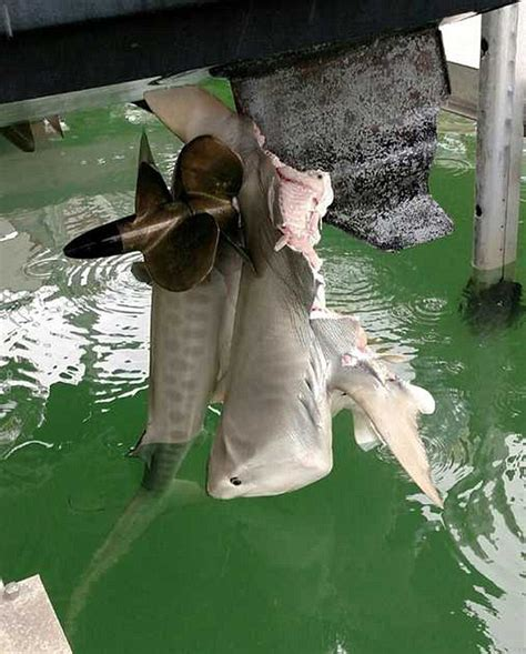 Movie Boy In Boat With Tiger by Fisherman In Florida Discovers A Shark Impaled On Boat S