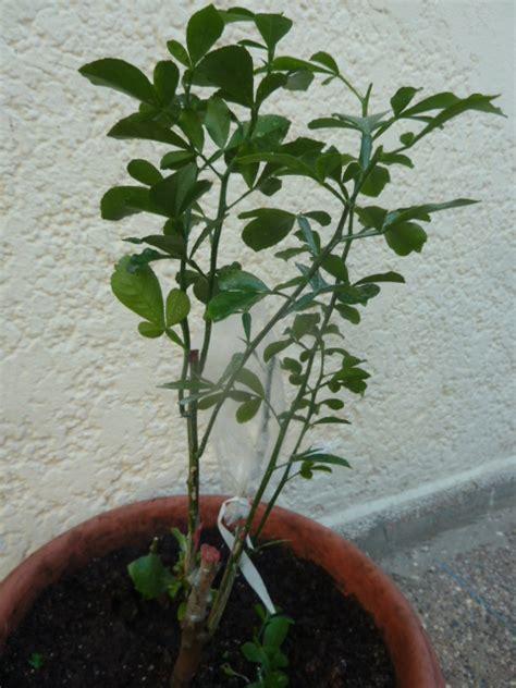 arbuste pomelos en pot qui ne donne pas de fruit au jardin forum de jardinage