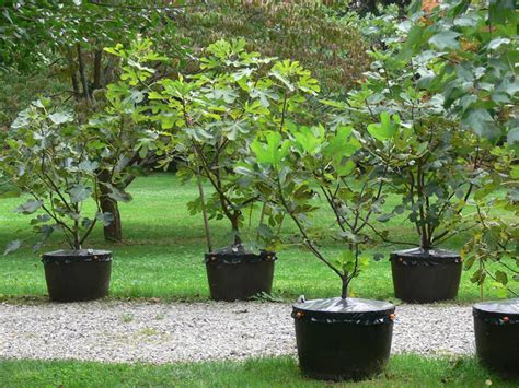 how many ripe figs make a productive potted fig tree