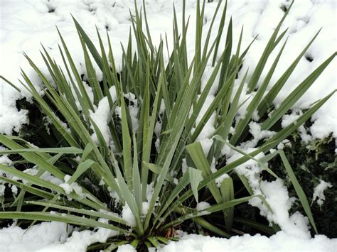 Danger Garden Yucca Filamentosa; My Favorite Plant In The