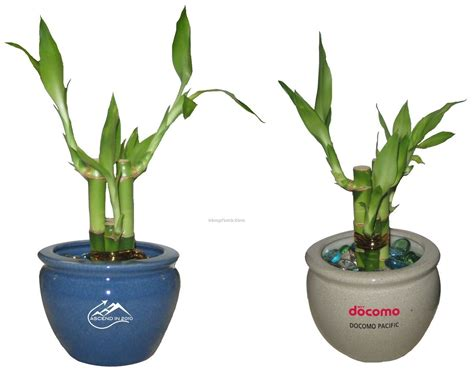lucky bamboo plant in 4 quot 6 quot ceramic pot 4 shoots china