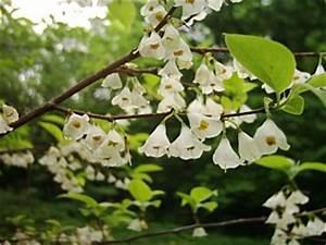 Baum Für Schattigen Vorgarten : schneegl ckchenbaum halesia carolina ein malerischer kleiner baum f r den vorgarten ~ Markanthonyermac.com Haus und Dekorationen