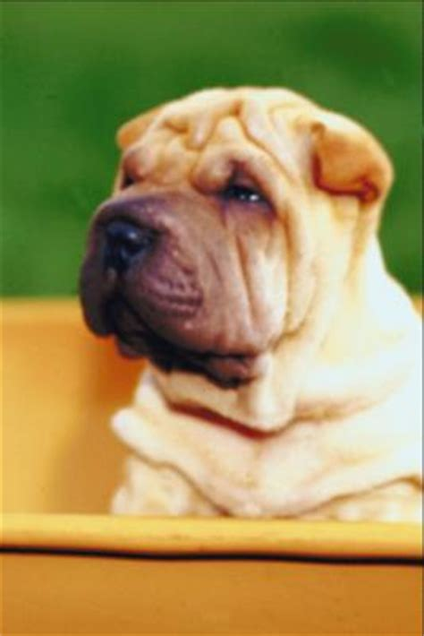 do shar pei dogs shed hair shar pei shedding pets