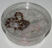Corn Snake Shedding In Pieces by All About Corn Snakes