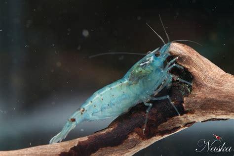 les 29 meilleures images 224 propos de crevettes sur crevette poisson tropical et