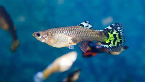 guppy guppy fish tank food and environment information