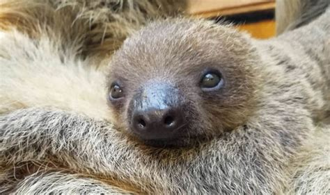 London Zoo Welcomes Baby Sloth Just In Time For Mother's Day Shoulder Length Hair For Round Faces Haircut Styles Bangs Long Looking Black Natural Hairstyles Updos Weddings Mens Latest 2016 Perfect Style Salon Niles Il What Is The Best Me Male Uppercut Hairstyle Pomade