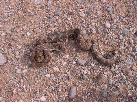 rattlesnake skin shed photo george kolb photos at pbase
