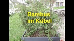 Immergrüner Sichtschutz Im Kübel : bambus im k bel youtube ~ Whattoseeinmadrid.com Haus und Dekorationen