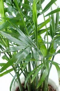Zimmerpflanze Lange Grüne Blätter : zimmerpalmen f r mediterranes flair garten garten tipps f r hobbyg rtner ~ Markanthonyermac.com Haus und Dekorationen