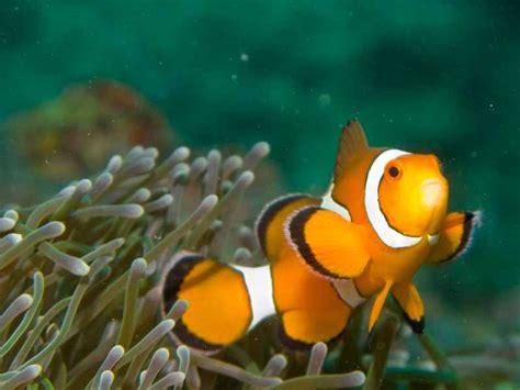 hiprion oscellaris poisson clown eau tropicale fiche et documentation l aquaramiaud