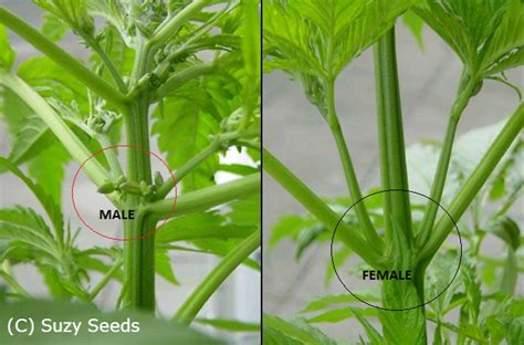plante m 226 le ou plante femelle cannabis cultiver du