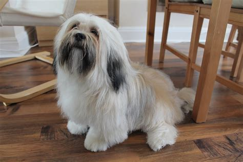 grooming a lhasa apso paws across britain