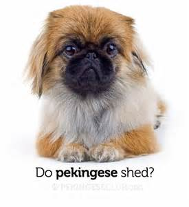 Do Pomskies Shed Fur by Do Pug Dogs Shed Hair Breeds Picture