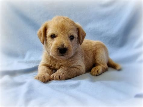 list non shedding hypoallergenic dogs pictures non shedding hypoallergenic dogs breeds picture