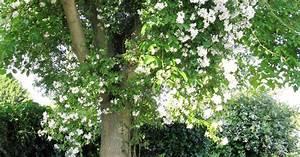 Kletterrosen Richtig Pflanzen : ramblerrosen pflanzen pflege und tipps mein sch ner garten ~ Markanthonyermac.com Haus und Dekorationen