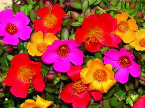 plante plein soleil 12 esp 232 ces 224 fleurs jolies et rustiques