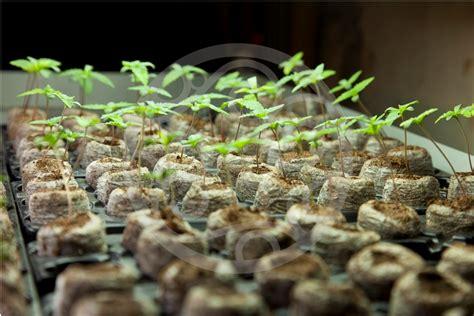 culture de graines de cannabis r 233 guli 232 res en int 233 rieur du growshop alchimia