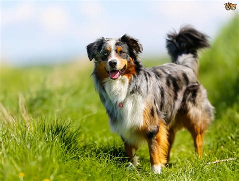 border collie breed information buying advice photos