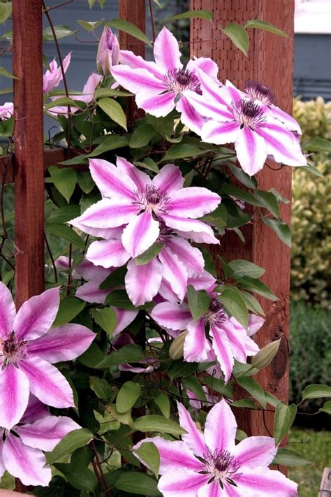 Clematis Climbing Plants  Tips For Planting, Care And