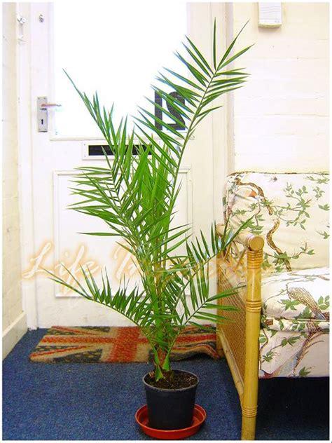 1 canariensis canary island date palmier en pot jardin ext 233 rieur plantes ebay