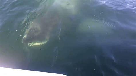 Huge Boat by Huge Shark Lurks Just Below Surface Near Fishermen S Boat