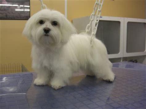 bichon maltais esth 233 ti chien mon salon de toilettage pour chiens
