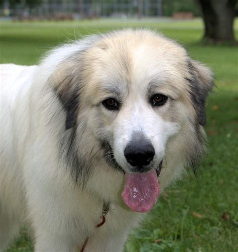 28 great pyrenees shedding information great pyrenees breed information great pyrenees