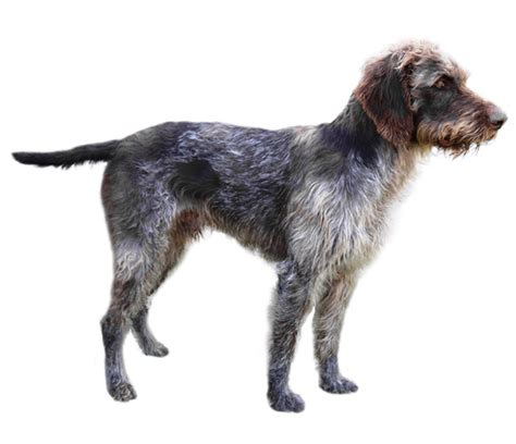 german wirehaired pointer breed health history