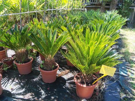 the la palmeraie des alpes palmiers r 233 sistants au gel plantes m 233 diterran 233 ennes et