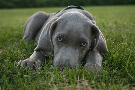 weimaraner web cachorros