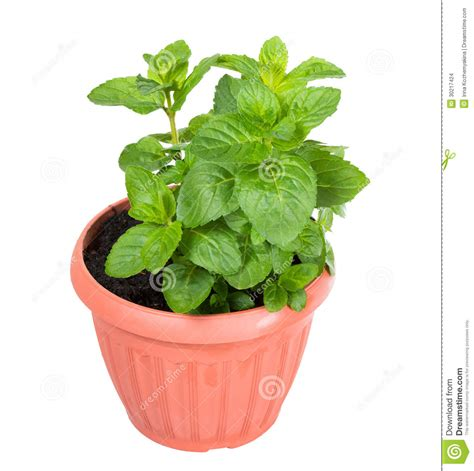shoots spiked or curly mint mentha spicata in the pot stock images image 30217424