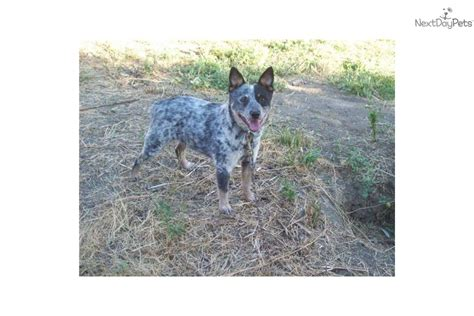 meet fincos blue speckled a australian cattle blue heeler puppy for sale for