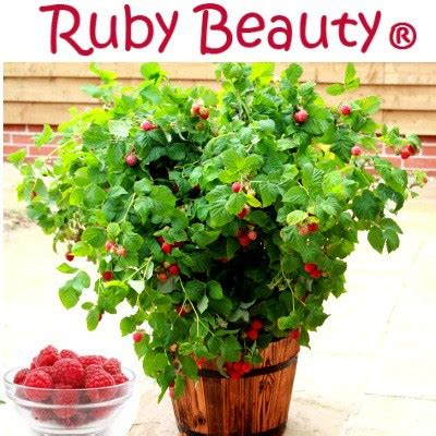 framboisier nain ruby 174 vente en ligne de plants de framboisier nain ruby