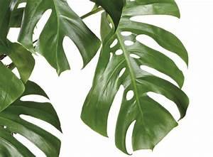 Zimmerpflanze Lange Grüne Blätter : rzte exklusiv pflanzen f r k rper und geist ~ Markanthonyermac.com Haus und Dekorationen