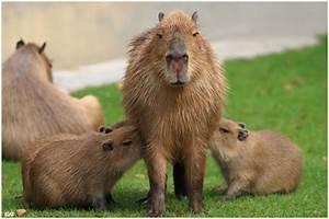 Köln Bilder Kaufen : s ugendes capybara im zoo k ln foto bild tiere zoo wildpark falknerei s ugetiere bilder ~ Markanthonyermac.com Haus und Dekorationen