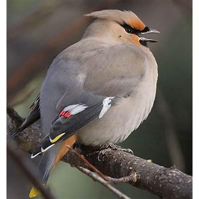 Bird Species - Bohemian Waxwing