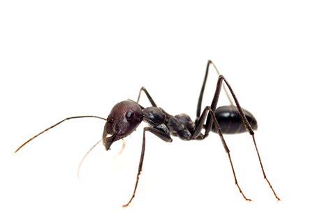 comment chasser les fourmis de chez soi