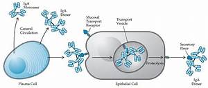 Adaptive Immunity: Antigens, Antibodies, and T Cell and B ...