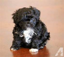 Non Shed Breeds Large by Non Shedding Non Yappy Small Dogs Breeds Picture