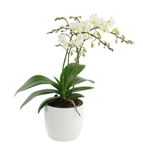 orchid 233 es vari 233 t 233 s entretien floraison rempotage maladies muramur