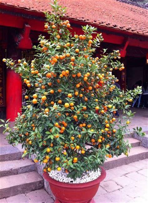 plus de 25 id 233 es magnifiques dans la cat 233 gorie arbres en pots sur citronnier d