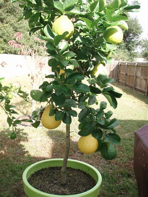 growing lemon tree in a pot container gardening